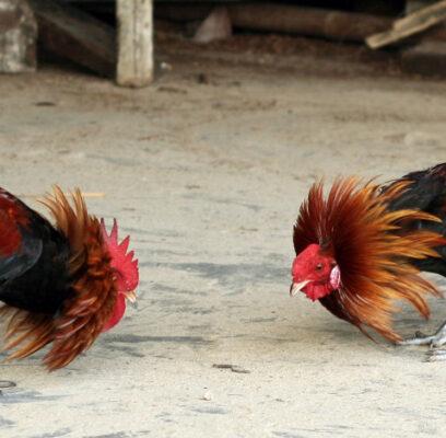Vitamin Untuk Ayam Yang Bisa Meningkatkan Kemungkinan Menang